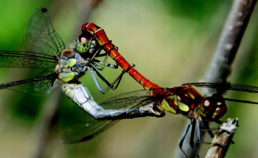 Dragon Flies - Darebin Creek