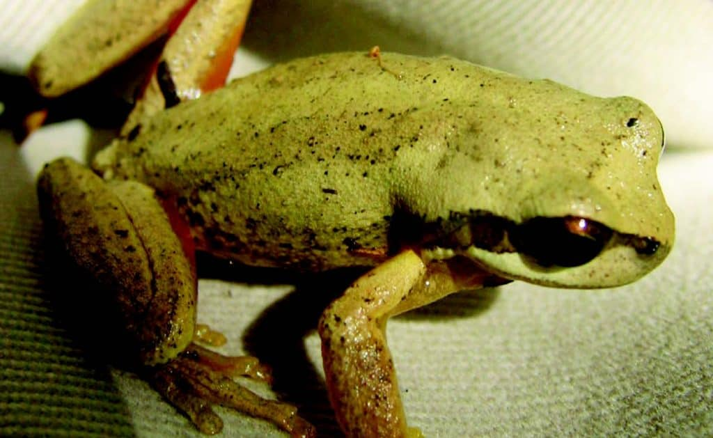 Ewing's Tree Frog (Litoria ewingii)