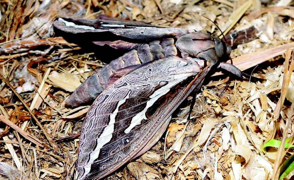 Swift Moth
