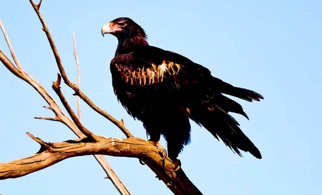 Wedge-tailed eagle or Bunjil (Aquila audax)