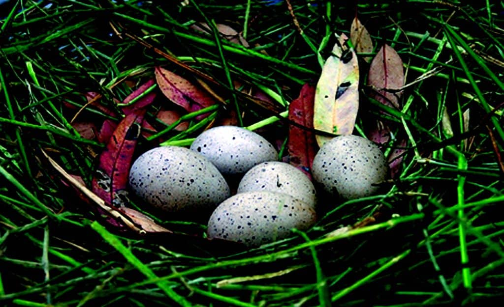 Wetland bird eggs